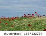 Poppies And Chamomile Flower...