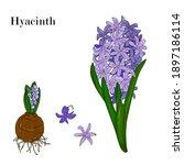 Hyacinth Flower Hand Drawing...