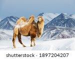 Bactrian camel against snowy...