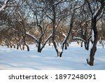 Snow Covered Trees. Winter...
