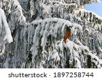 Snow Covered Conifer With Cones