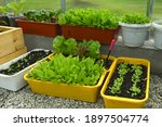 boxes and pots with lettuce and ...   Shutterstock . vector #1897504774