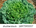 Green Lettuce Salad Plant In A...