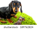 Stock photo cute dachshund puppy on green carpet isolated on white 189762824