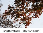 Cape Ash Leaves On A Tree In...