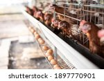 The Chickens In The Cages  The...