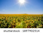 Fields of sunflowers growing in North Dakota
