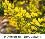 Detail Of A Common Gorse...