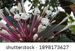Starburst bush  clerodendrum...
