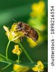 image of bee or honeybee on...   Shutterstock . vector #1898216554