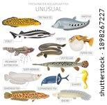 unusual fish. freshwater... | Shutterstock .eps vector #1898267227