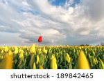 Red Tulip On Yellow Field In...