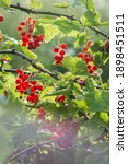Ripe Red Currant Bunches On The ...