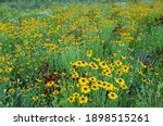 Landscape of a summer wildflower meadow, with black-eyed susans and other blooms, Michigan, USA