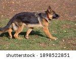 Cute German Shepherd Dog Puppy...