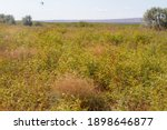 Plain With Orange Grass. Dry...