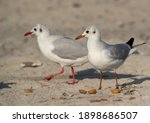 Closeup Of Black Headed Gulls...