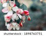 Beautiful White Apple Blossom...