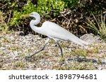Great White Egret Walking In J...