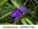 Virginia Spiderwort Flowers ...