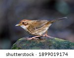 Small photo of puff-throated babbler or spotted babbler (Pellorneum ruficeps) lovely little brown bird posting on green rock in its natural habitat