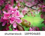 Sakura. Cherry Blossom In...