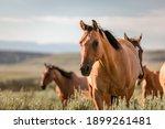 Beautiful Herd Of American...