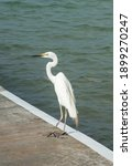Great White Egret Standing On...