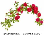 Small photo of A long branch of a rosehip bush in the form of a rim and a semicircle with red flower buds isolated on a white background.