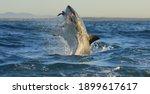 Great White Shark  Carcharodon...