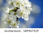flowers of the cherry blossoms... | Shutterstock . vector #189967529