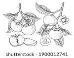 set of fuyu persimmon fruit... | Shutterstock .eps vector #1900012741