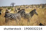 Portrait Of Few Zebras On Africa