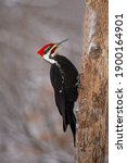 Male Pileated Woodpecker In The ...