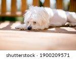 A Scruffy White Maltese Dog...