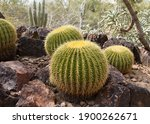 Barrel Cactus In Southern...