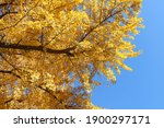 Gingko Trees With Golden Autumn ...