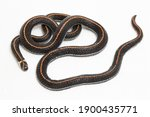 malaysian striped coral snake   ... | Shutterstock . vector #1900435771