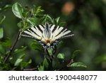 The Scarce Swallowtail ...