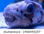 Fish Hedgehog Short Spiked...
