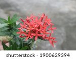 Rubiaceae Flower. Ixora...