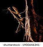 A Malaysian Dead Leaf Mantis ...