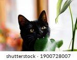 Cat Eating Plant. Black Cat...