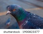 Common Gray Pigeon With Green...