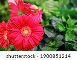 Red Gerbera Flower  Copy Space...