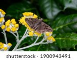 Horaces S Duskywing Butterfly...