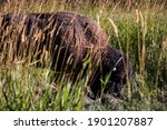 A Canadian Bison Grazing In A...
