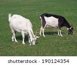 Two Domestic Goat On Green...
