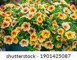 Multi Colored Calibrachoa ...