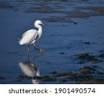 A snowy egret (Egretta thula) wades in the muddy shallows along Elkhorn Slough on Butterfly Island.